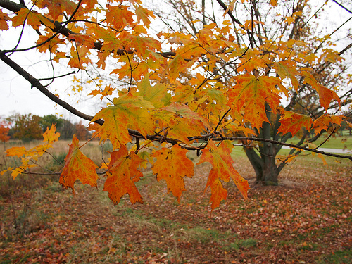 black maple photo