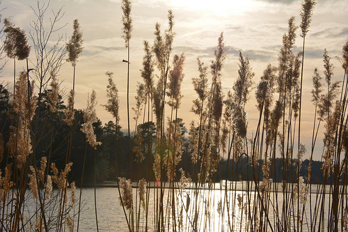 phragmites photo