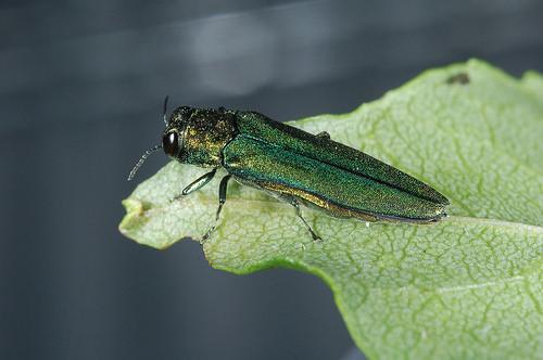 emerald ash borer photo
