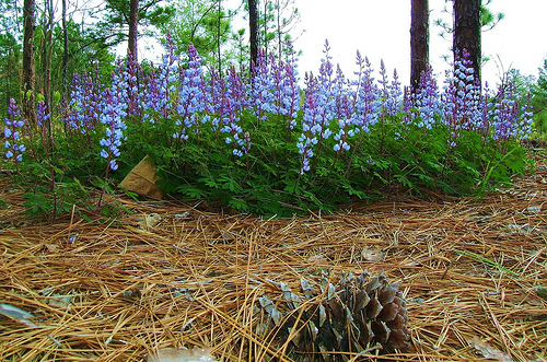 sundial lupine photo