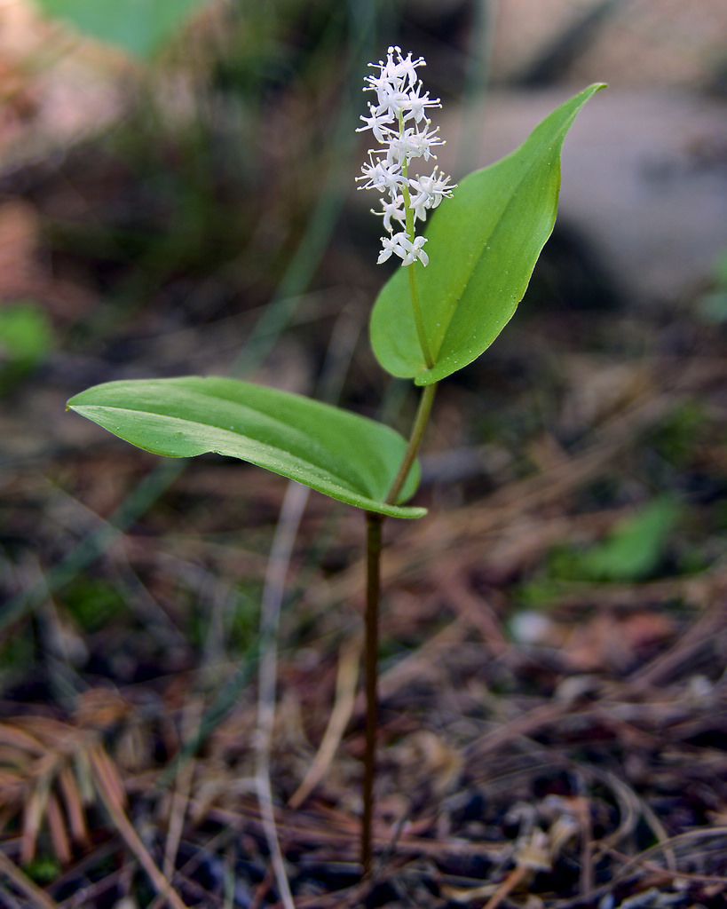 maianthemum canadense photo