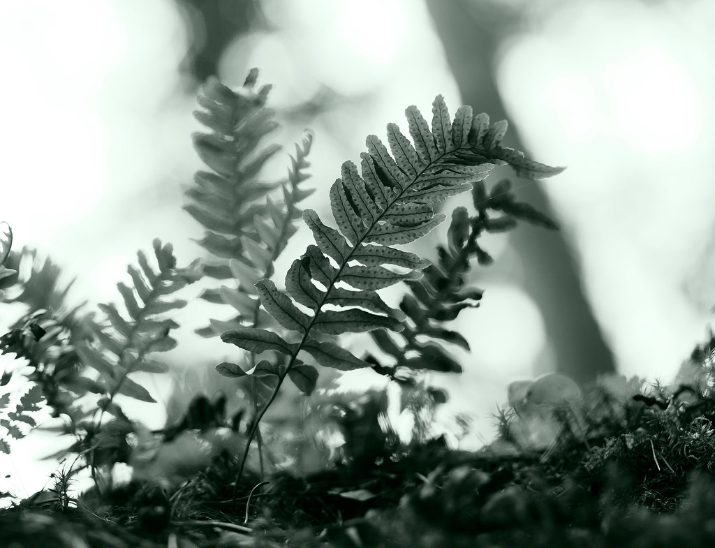 polypodium vulgare photo