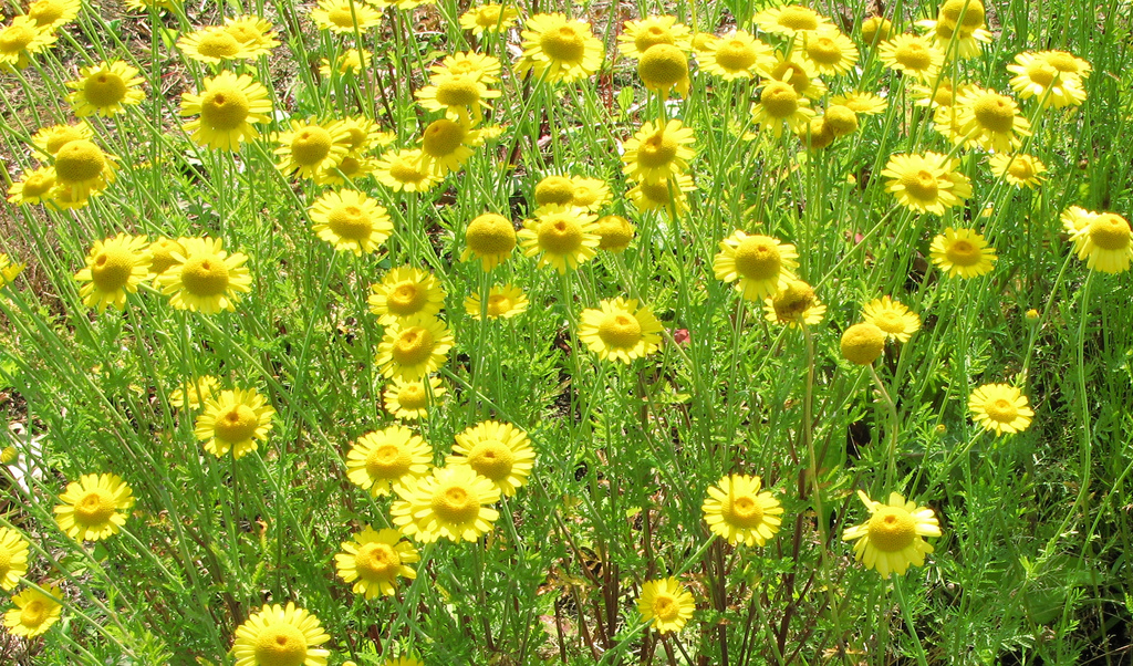 anthemis tinctoria photo
