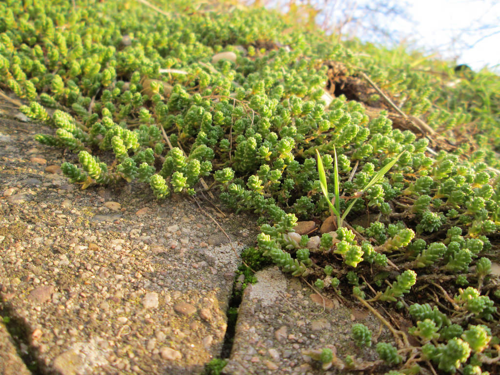 sedum acre photo