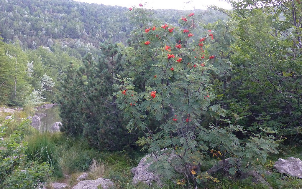 sorbus aucuparia photo