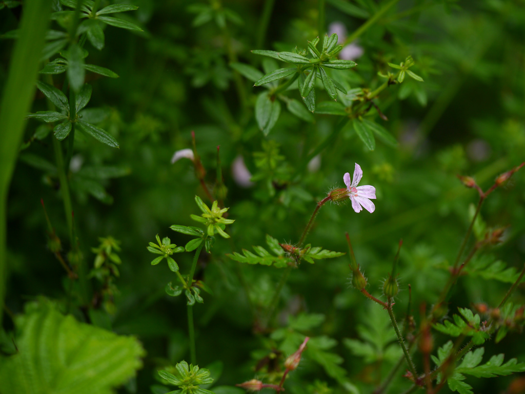 geranium robertianum photo