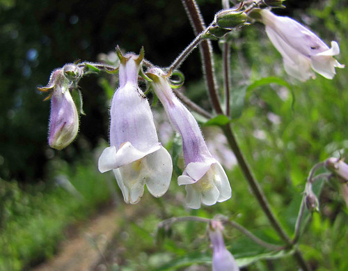 penstemon hirsutus photo